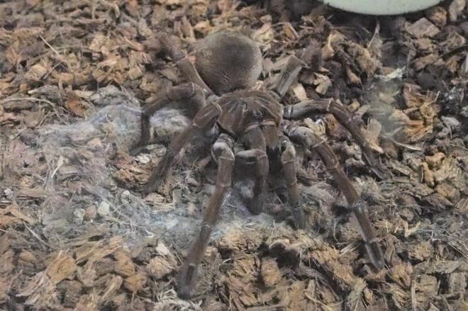 世界最大のクモとされる「ゴライアスバードイーター」。鳥を食う、ですと?