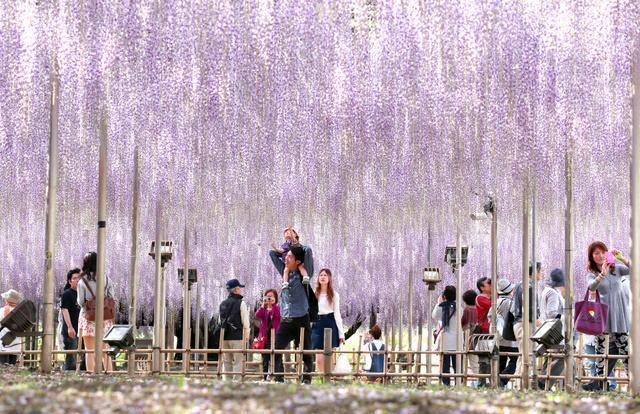 栃木県足利市の「あしかがフラワーパーク」。5月、フジの花の見頃