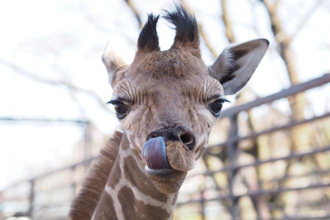 公開された雄キリンの赤ちゃん=宇都宮市上金井町の宇都宮動物園