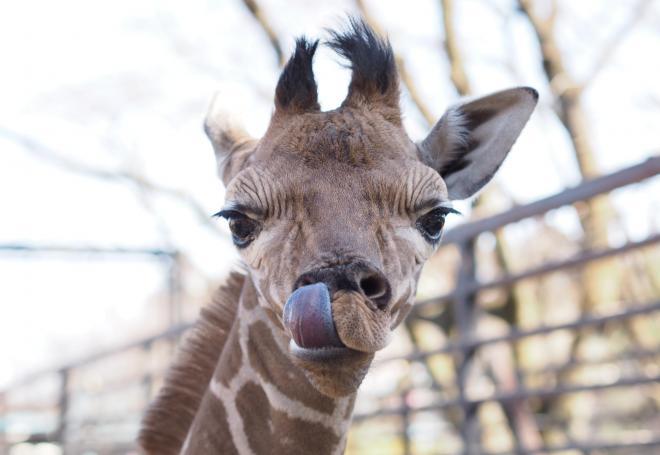 公開された雄キリンの赤ちゃん=2014年2月23日、宇都宮市上金井町の宇都宮動物園