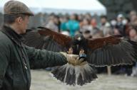 大きな羽を広げ、鷹匠の腕めがけて飛んでくるタカ=2011年1月8日