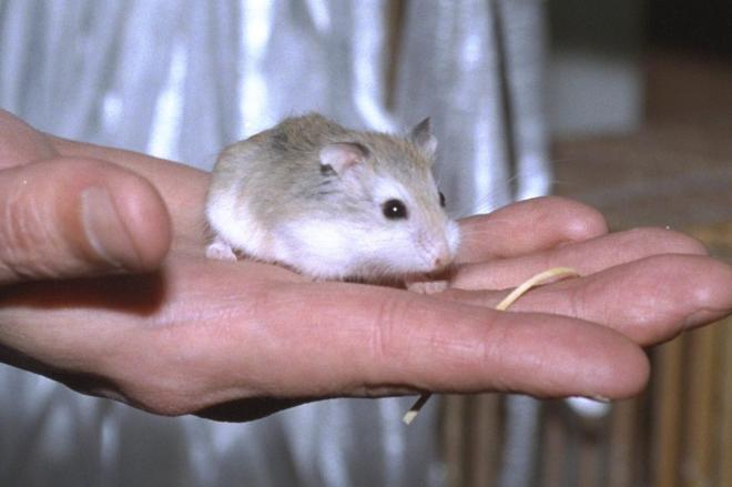 小型のロボロフスキーハムスター