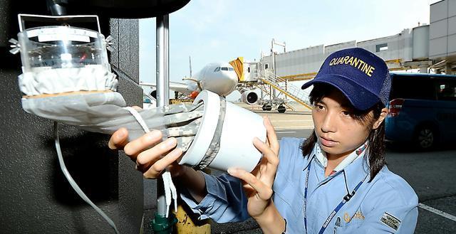 前日に仕掛けたわなを回収する検疫所の職員=千葉県成田市の成田空港、諫山卓弥撮影