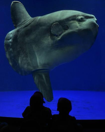 それでも水族館では「マンボウ最弱伝説」を語る人がいっぱい