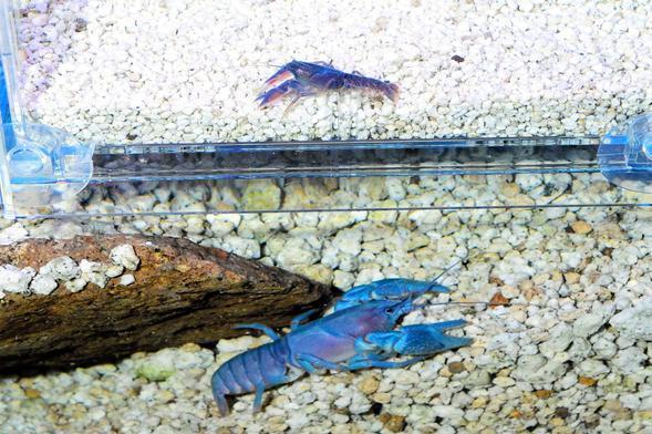 室蘭水族館で繁殖に成功した青色のニホンザリガニ(上)。下は母親のニホンザリガニ=1日午後4時39分、北海道室蘭市、恵原弘太郎撮影