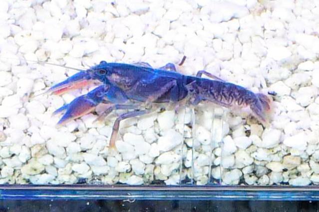 室蘭水族館で繁殖に成功した青色のニホンザリガニ