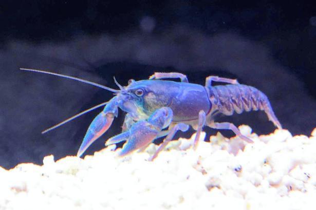市立室蘭水族館で繁殖に成功した青色のニホンザリガニ=1日午後3時47分、北海道室蘭市、恵原弘太郎撮影