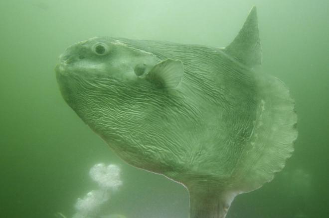 いけすの中をゆったりと泳ぐ体長約1・2メートルのマンボウ=2008年4月11日