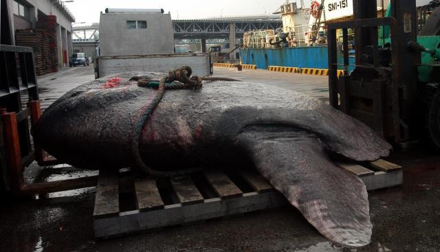 水揚げされた巨大マンボウ=2007年11月16日の朝日新聞