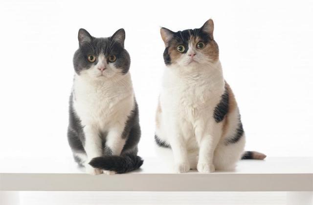 立ち耳スコティッシュフォールドの兄妹。右が妹=ブログ「guremike」より