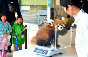 11月1日の計量記念日。人工飼育のオスのレッサーパンダの子供の体重を量る飼育員=和歌山県白浜町