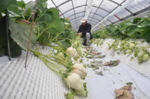 ビニールハウスの中で収穫される白イチゴ=唐津市