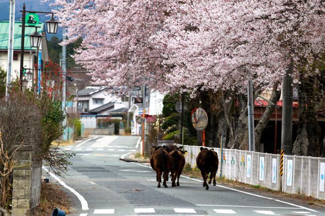 人の姿に驚いて住宅街を駆ける牛の群れ=2012年4月20日、大熊町、上田潤撮影