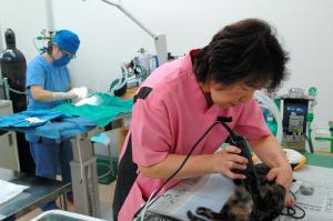 麻酔を打った後で毛をそり、不妊や去勢の手術の準備をする=2013年10月5日、福島県白河市