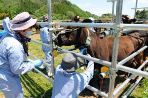 放れ牛になって被曝した黒毛和牛を柵に追い込み、検査のため血液採取をする研究者=2014年5月17日、浪江町小丸