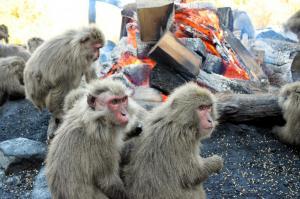たき火に集まってくるサルたち=犬山市犬山の日本モンキーセンター=2014年12月19日
