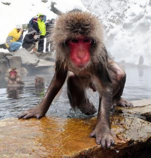 温泉からあがるサル。近くの雪の上で10分ほど過ごし、湯に入り直していた=2014年12月29日、長野県山ノ内町の地獄谷野猿公苑