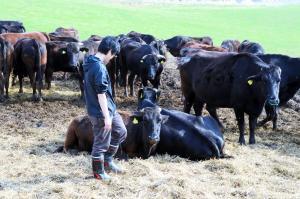 放れ牛や避難農家から引き取った牛を囲い込んで飼っている「希望の牧場」では、新たに生まれてしまう子牛も含め増え続けている=2012年4月30日、浪江町
