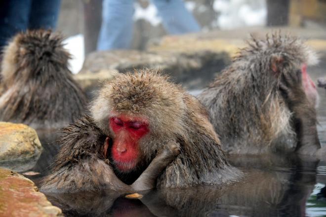 静かに湯につかるサルたち。施設内の温度計によると、この日の最低気温はマイナス9度、午前11時ごろは0度だった=2014年12月29日、長野県山ノ内町の地獄谷野猿公苑