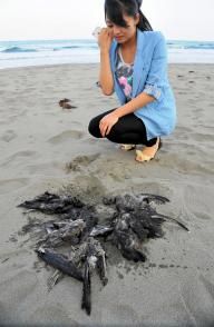 砂浜に漂着したハシボソミズナギドリの死体=2013年6月4日、高知県黒潮町入野