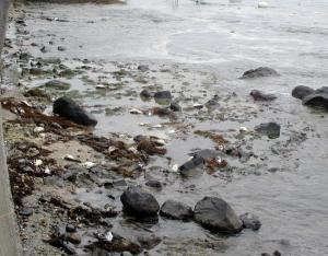 ウミネコが漂着した海岸=2014年3月19日、石川県珠洲市三崎町小泊、珠洲市提供