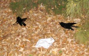 埼玉県入間市宮寺地区で見つかったカラスの死骸=2014年12月30日、埼玉県提供