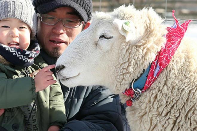 来園者とふれ合う羊の「ハッピー」=北海道恵庭市の「えこりん村」、山本裕之撮影