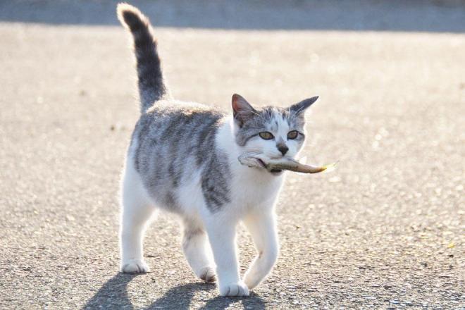 サザエさんの歌に出てきそうな、魚をくわえたネコ