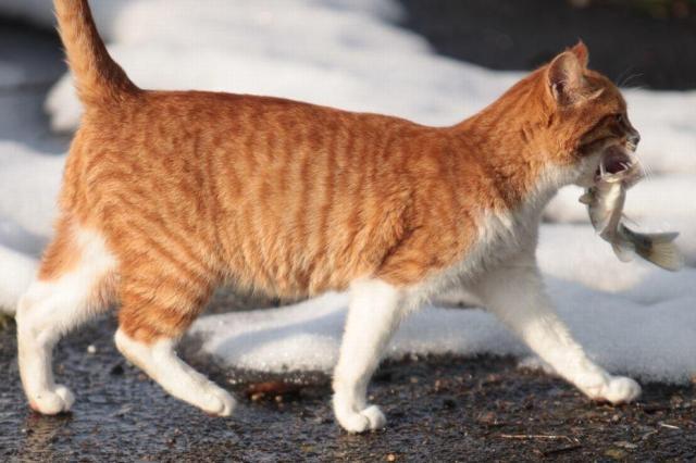 魚をくわえて歩くネコ