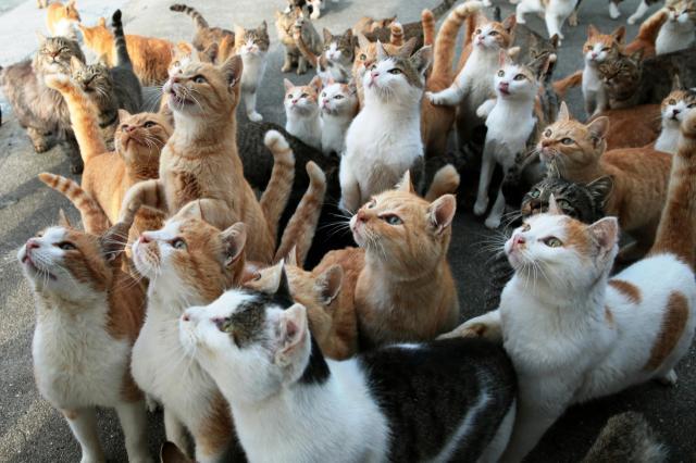 えさを持つ手をじっと見つめる愛媛県大洲市の青島のネコ=2014年11月29日の朝日新聞