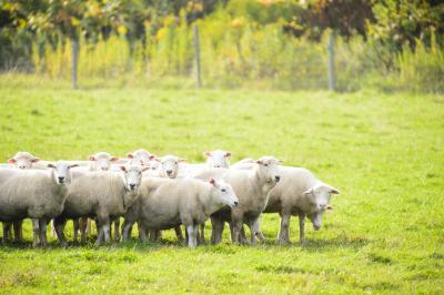 村上春樹ファン、今後は腕に羊のタトゥー?