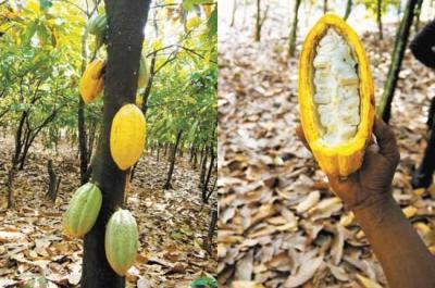 幹にもなったカカオの実(左)割ると、白い果肉が見える=2012年2月20日、ガーナ