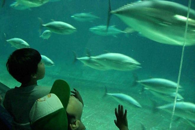 全盛期の葛西臨海水族園のクロマグロ展示=2006年6月