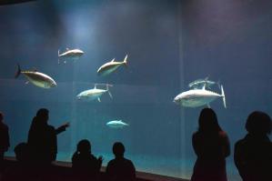 クロマグロが8匹いたころの葛西臨海水族園=2015年1月17日