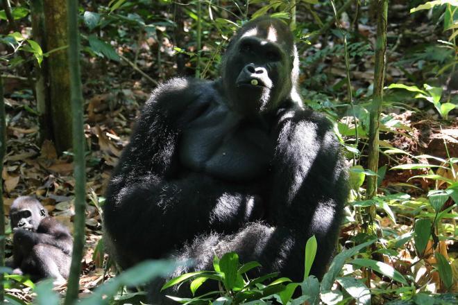 ゴリラの親子。右側は群れを率いる成熟したオスで、背中の毛が銀白になることからシルバーバックと呼ばれる=コンゴ共和国・モンディカ