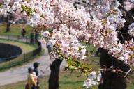 昨年の五稜郭公園(北海道函館市)の桜=2014年4月28日の朝日新聞より