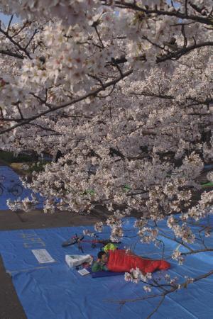 寝袋に入って花見の場所取りをする人=1992年4月、上野公園