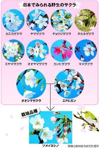 日本でみられる野生の桜=画像は森林総合研究所提供