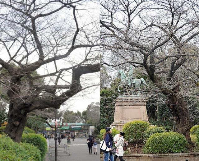 ソメイヨシノの原木の候補とされる木。奥に上野動物園の表門が見える(左)。右の写真は別の角度から撮影したもの。隣に小松宮親王像がある=いずれも東京・上野公園