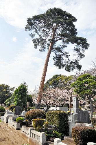 三島由紀夫の墓(手前)のそばに立つ一本の木=2015年4月6日、東京都府中市、小林太一撮影