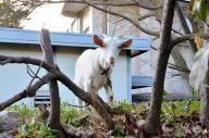 吉田寮生が飼育しているというヤギ。近隣住民が残り物の野菜を食べさせていた=2015年3月23日、左京区