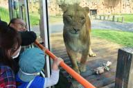 多摩動物公園の「ライオンバス」から見るライオン