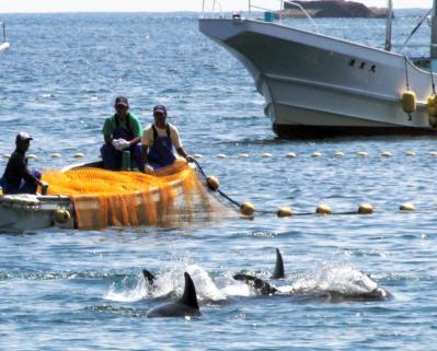 ハナゴンドウを追い込む漁師ら=2014年9月16日、太地町の畠尻湾