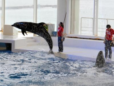 追い込み漁問題で揺れる水族館のイルカショー。アクアワールド大洗水族館では人気イベントの一つになっている=2015年5月15日、茨城剣大洗町磯浜町