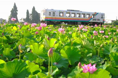 蓮池のわきを通るフラワー長井線。沿線には花の見どころが多い=山形鉄道提供