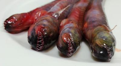 佐賀市が「有明海のエイリアン」として売り出している珍魚ワラスボ