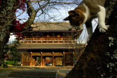 寺の大門にある桜の木からおりる猫=2005年11月、和歌山県岩出町
