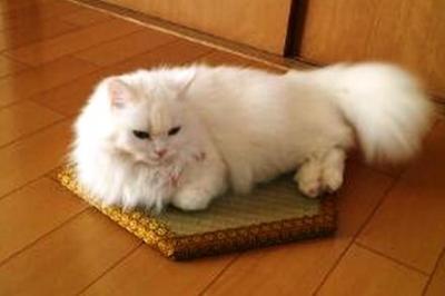 猫ホイホイ畳に収まりきらなかった猫