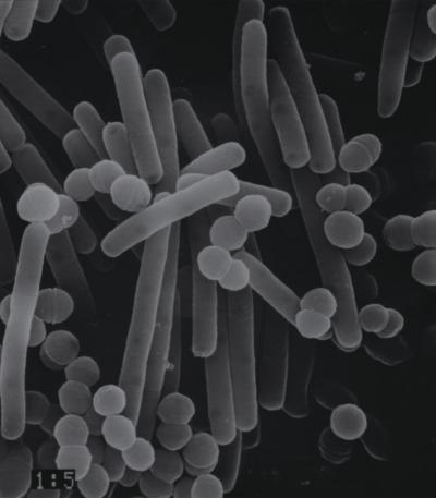ブルガリアヨーグルトで使用している「LB81乳酸菌」