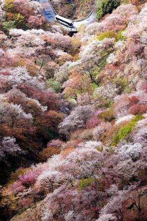 見頃を迎えた吉野山の千本桜=2015年4月、奈良県吉野町、本社ヘリから、林敏行撮影